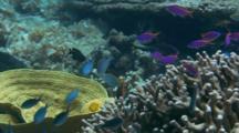 Purple Anthias And Damselfish Over Coral Head
