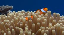 Clown Fish In Host Anemone