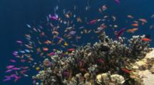 Anthias And Other Fish Around Coral Head