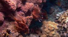 Zebra Lionfish Rest On Reef