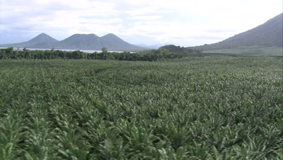 Palm Oil plantation and mountains in background
