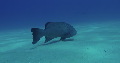 zoom in on Grouper swimming near seabed
