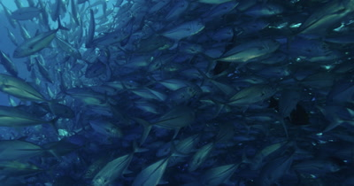 Large school of jacks swimming toward camera and splitting off at the last second