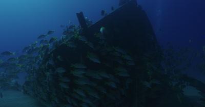 School of grunts swimming around wreck.