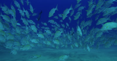 School of grunts near seabed, slightly drifting in swell