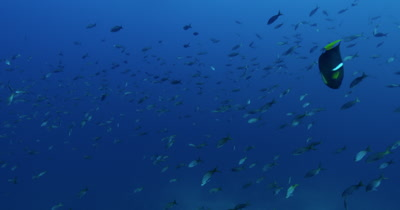 Traveling through school of pacific creole fish in open water
