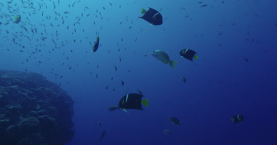Variety of reef fish over a rocky reef.