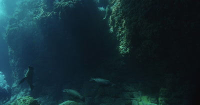 Beautiful scene as Sea Lions playfully swim through rocky coastal environment as rays of light shine down from above.