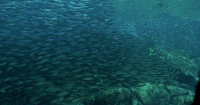 Massive school of Sardines swim past camera. Seargant Majors cross frame in front of Sardines. Sardines move su