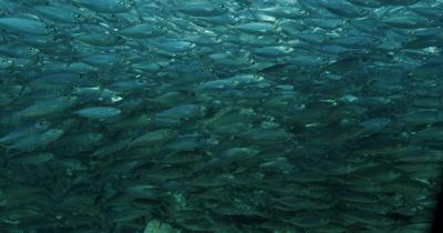 Massive school of Sardines swim in front of camera. Hypnotizing.