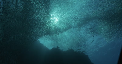 Low angle of school of fish silhouette, sea lion enters and exits frame