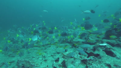 Yellowtail Surgeonfish swimming with blue striped grunt fish.