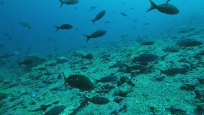 School of pacific creole fish swimming near reef.