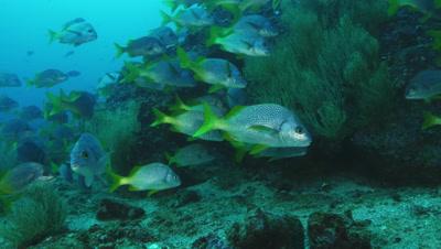 Yellowtail grunt fish hang out near rock