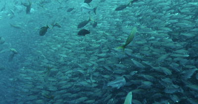 Pacific Creole fish swim in front of a wall of Galapagos black striped salema fish