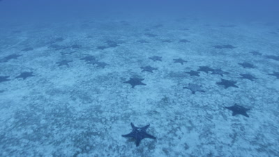 Camera moves above seabed covered with starfish
