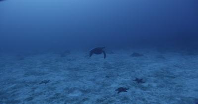 Sea turtle swims away from camera along ocean floor.  Starfish on floor.