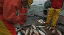 Bristol Bay Salmon Fishery - Fishermen Pick Fish From Net, Tilt From Fish On Deck
