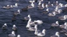 Crab Fishing Bering Sea - Northern Fulmar And Seagulls Wait For Scraps Of Bait