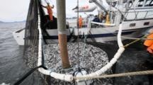 Net Full Of Fish, Herring Fishery Sitka Alaska