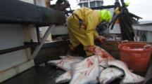 Man On Fishing Boat Handles Halibut Catch, Longlining For Halibut And Black Cod Alaska