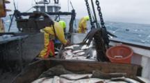Men On Fishing Boat Handle Halibut Catch, Longlining For Halibut And Black Cod Alaska