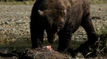 Brown Bears Grizzly Bears Of Katmai - Big Bear Eats Salmon On River Bank