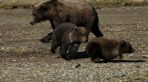 Brown Bears Grizzly Bears Of Katmai - Yearling Cubs Wrestle And Play, One Trips And Falls Still Clumsy