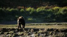 Brown Bears Grizzly Bears Of Katmai - Large Bear Surveys River From River Bank, Afternoon Light