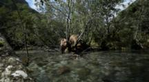 Brown Bears Grizzly Bears Of Katmai - Bears Look For Fish In Stream Flowing Through Alders