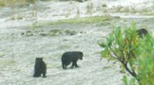 Brown Bears Grizzly Bears Of Katmai - Humorous Shot, Mother And Cubs Walk Through Sand, Young Cub Startled By Poop