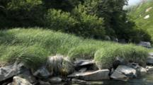 Scenic Shot Of Alaska Peninsula - Brilliant Green Grass And Alder Blow In The Breeze, View From A Skiff, Bear Country