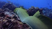 Green Moray Eel Swimming Over The Reef