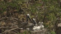 Aerial Pelicans Roosting, Tending Chicks