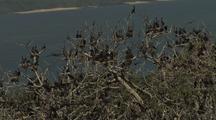 Cormorants In Large Group Roosting