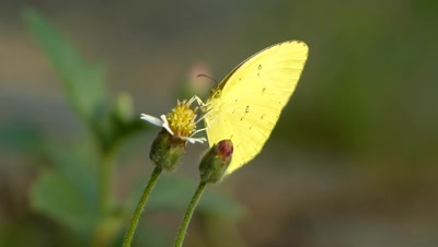 Common Grass Yellow  Butterfly  ( Erurema hecabe ) Sucking Nectar from Spanish Needle Flower, also known as Pitch Fork Weed (Bidens Alba). Bidens are Zoochorous, means the seeds are spread by animals.