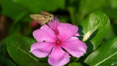Skipper Butterfly (Pelopidas S.P.) Proboscis  movement  of  SKIPPER  butterfly  on  the flower of  aka vinka, vinka rosea ( catharanths ross ) local name of the flower is  sadabahar.