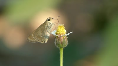 Skipper Butterfly (Pelopidas S.P.) is sucking nectar from the aka vinka, vinka rosea  (catharanths roseus) local name is Sadabahaar flower,