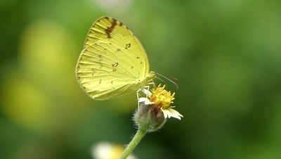 Common Grass Yellow  Butterfly  ( Erurema hecabe ) is Sucking Nectar from Spanish Needle Flower, it's a Pitch fork weed ( Bidens Alba ), Bidens are Zoochorous, means the seeds are spread by animals