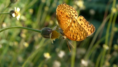 Common Leopard Butterfly (Phalanta Phalanta) is Sucking Nectar from Spanish Needle Flower, it's a Pitch fork weed ( Bidens Alba ), Bidens are Zoochorous, means the seeds are spread by animals.