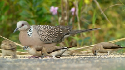 Spotted Dove ( Spilopelia chinensis ),Indian silverbills and a House Sparrow are eating setaria italica seeds on graund, together