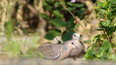 Spotted Doves ( Spilopelia chinensis ), are eating setaria italica seeds in their habitats graund.