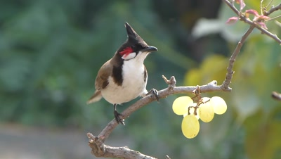 The Red-whiskered Bulbul ( Pycnonotus jocosus ) eating grapes on the branch of bougainvillea, its a conceptual capture. This is a passerine bird found in Asia. It is a member of the bulbul family. It feeds on fruits and small insects and they conspicuously perch on trees The distinctive crest and the red-vent and whiskers makes them easy to identify. They are very common in urban gardens within its range.