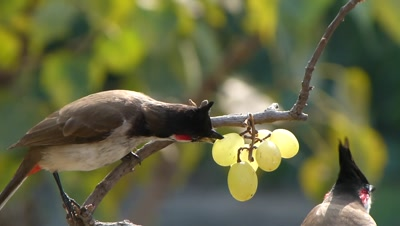 The Red-whiskered Bulbuls ( Pycnonotus jocosus ) landed on the branch of bougainvillea, to eat their favourite fruit grape, its a conceptual capture. Ths  is  a passerine bird found in Asia. It is a member of the bulbul family. It feeds on fruits and small insects and they conspicuously perch on trees  and the red-vent and whiskers makes them easy to identify. They are very common in urban gardens within its range.
