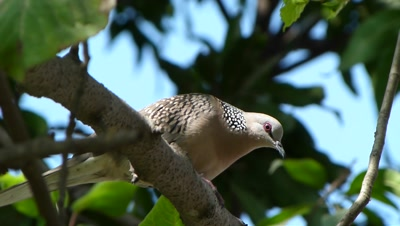 Spotted Dove ( Spilopelia chinensis ) is strolling curiously on the branch of Mulberry.
