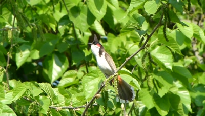 The Red-whiskered Bulbul ( Pycnonotus jocosus ) pearched on Mulberry branch and calling her mate, a long view.