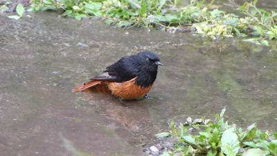 Scarlet Minivet ( Pericrocotus Flammeus R Bulbul ) is bathing in small, fresh droped water pool and flew, two scaly Breasted Munias came to bathe.