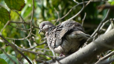 Spotted Dove ( Spilopelia chinensis ) is Preening on the branch of Fig tree.