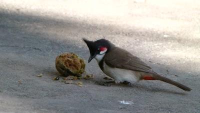 Red Whiskered Bulbul ( Pycnonotus jocosus ) is eating  Chiku (Sapodilla) on ground.