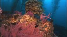 Kelp Forest With Gorgonians